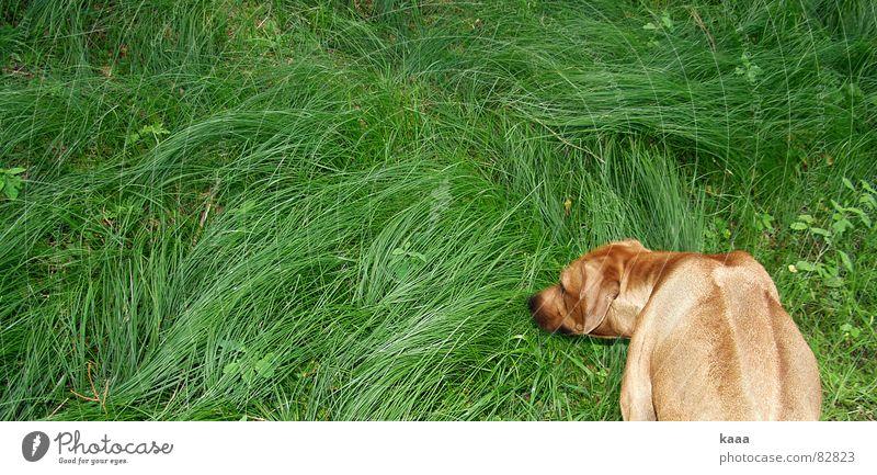 Hund auf Gras Wiese grün seltsam Tier Grünfläche skurril außergewöhnlich unlogisch Säugetier obskur Rhodesian Ridgeback skuril Weide Rasen Gassi gehen verrückt