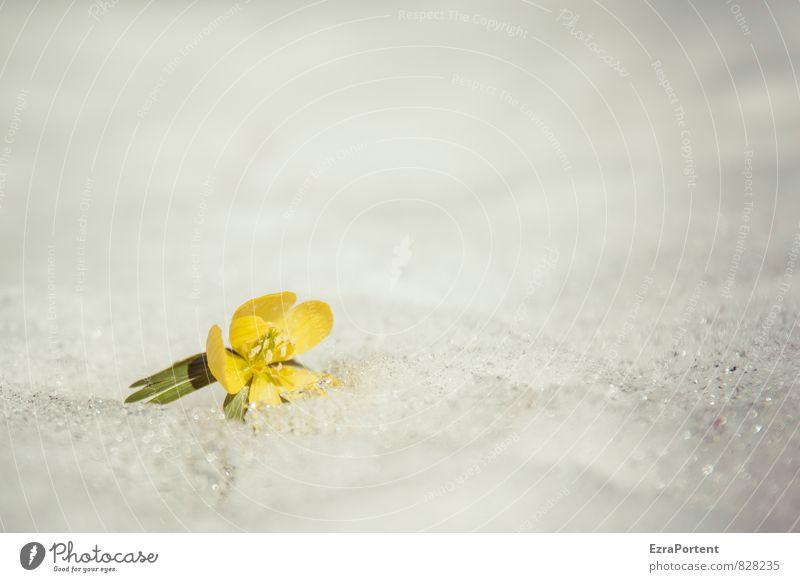 Eranthis hyemalis auf Salzkruste, also irgendwie auch bizarr Umwelt Natur Landschaft Pflanze Frühling Winter Klima Eis Frost Schnee Blume Blüte Garten Park