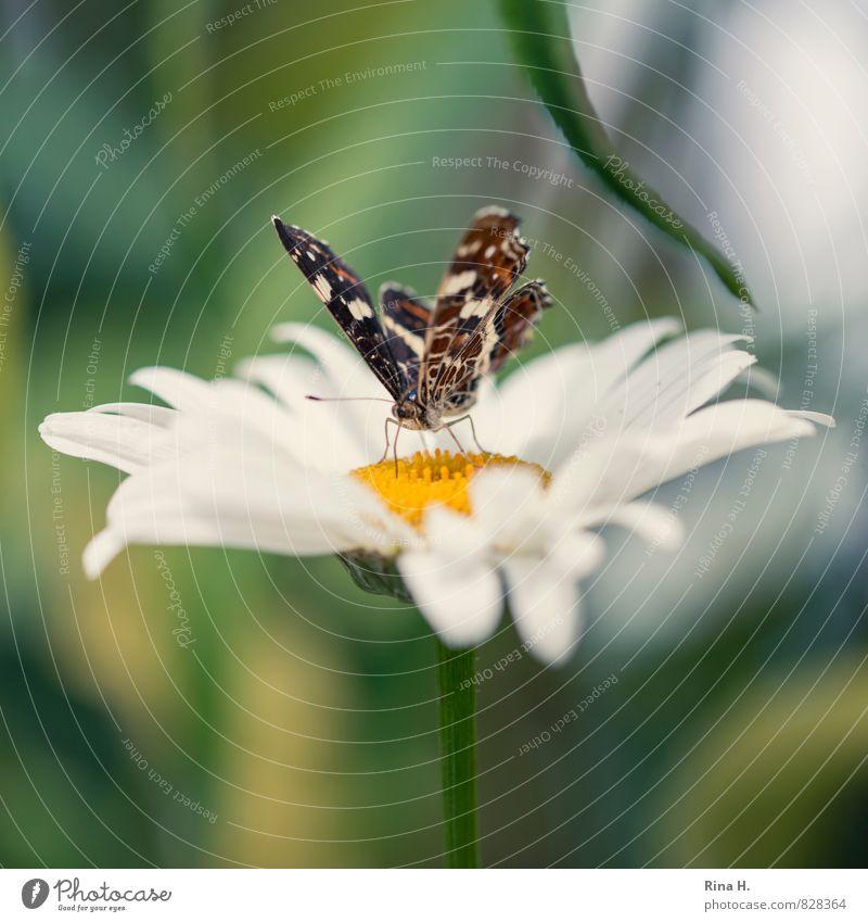 Schmetterling auf Margarite Blume Blatt Blüte Garten 1 Tier Blühend Duft Leichtigkeit Natur Margerite Außenaufnahme Menschenleer Schwache Tiefenschärfe