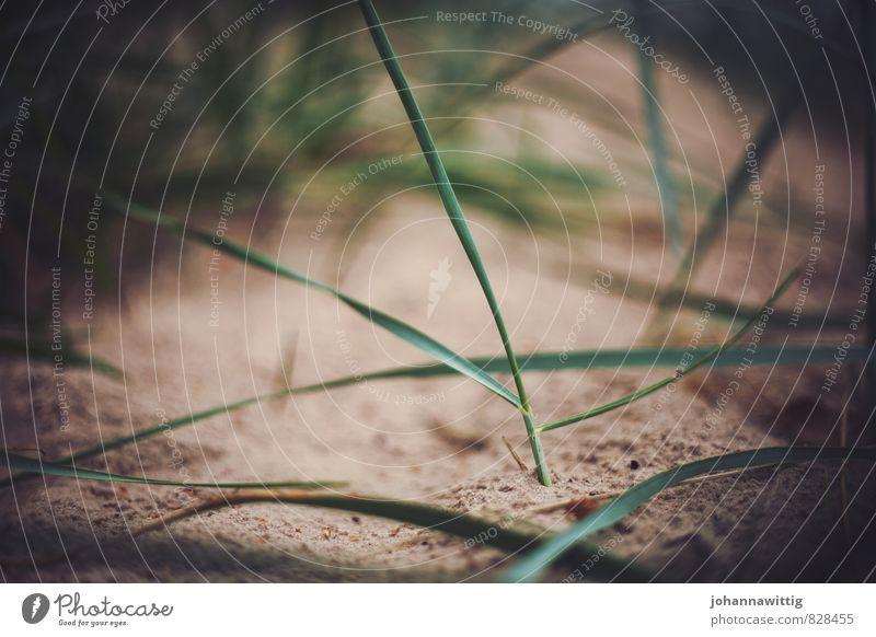 düne Umwelt Natur Landschaft Pflanze Urelemente Erde Sand Frühling Sommer Küste Strand frisch Gras Rasen Düne ruhig Wellness Pause Halm Nahaufnahme Wachstum neu