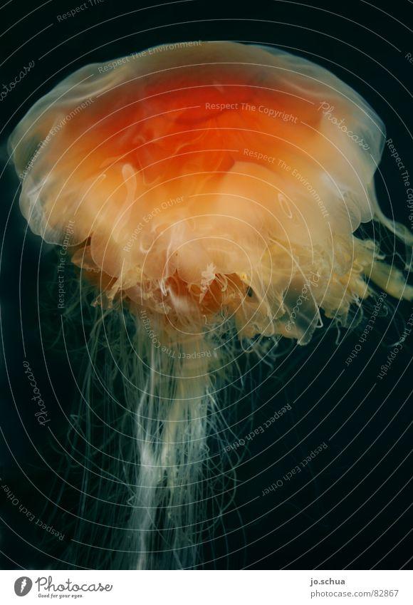 Feuerqualle Wasser Meer rot Tier grau Unterwasseraufnahme Küste gefährlich bedrohlich brennen Ekel Nordsee Norwegen Gift hässlich Qualle