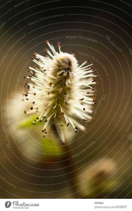 Frühjahrsplüsch harmonisch ruhig Ausflug Frühling Gartenarbeit Werbebranche Natur Blume Blüte Wildpflanze Weidenkätzchen Samen Alpen alt Blühend Duft leuchten