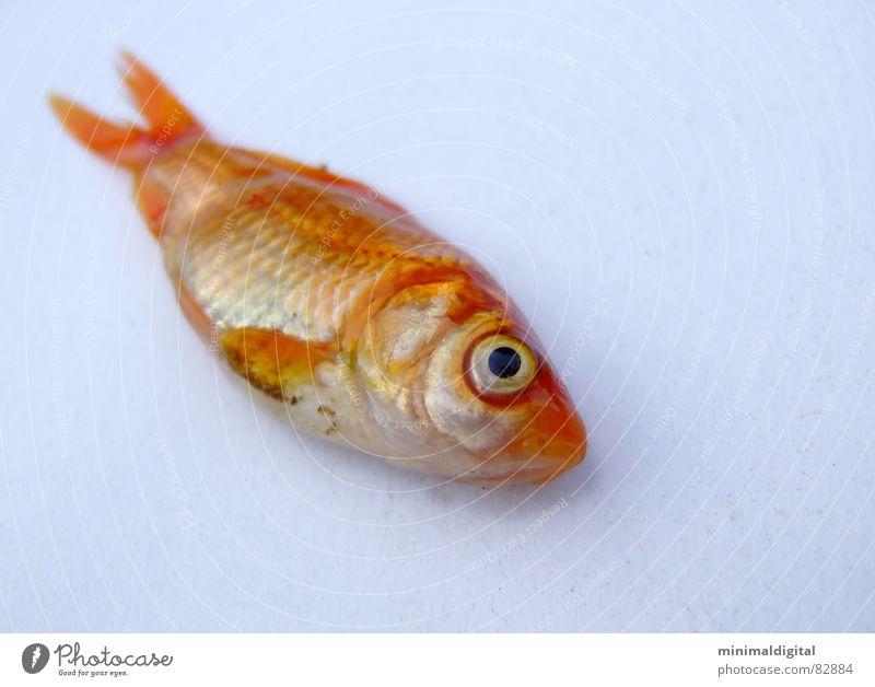 Der schläft nur.. Wasser Auge Tod gold schlafen Fisch silber Scheune Goldfisch Fischgräte Kieme Fischkopf