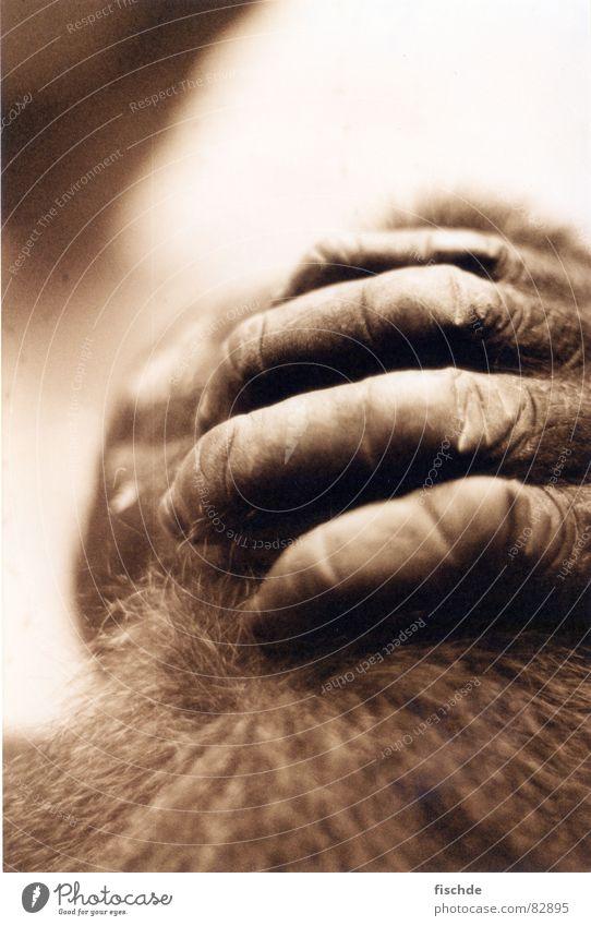 des gorillas hände Hand Haare & Frisuren Denken Zoo Wildtier Lautsprecher Rede Gedanke gefangen Säugetier Pfote Affen Zirkus Sepia Faust Gehege