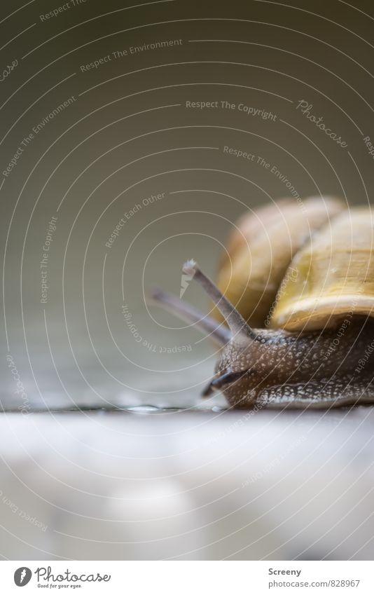 Gefühlte Ewigkeit Natur Tier Frühling Sommer Schnecke 1 krabbeln klein schleimig braun gelb Gelassenheit geduldig ruhig Trägheit Bewegung Geschwindigkeit