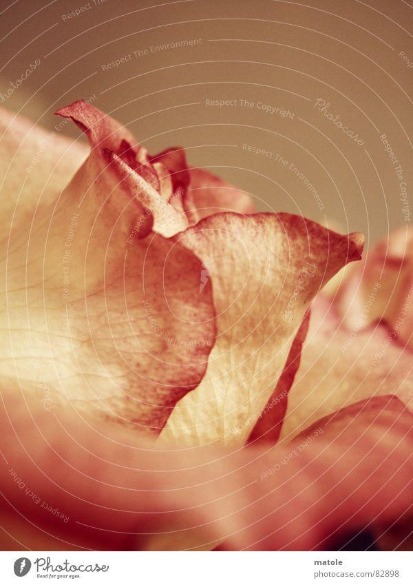 rose Pflanze Blume rot Umwelt Wärme Blüte Gefühle Freundschaft rosa Wachstum Warmherzigkeit Romantik Freundlichkeit nah Rose Vertrauen