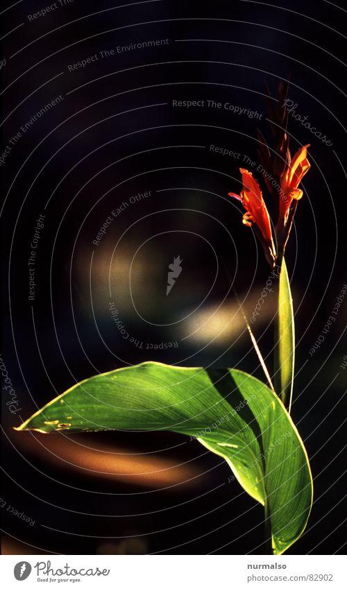 Blumenzauber rot grün Gegenlicht Blüte dunkel Blühend Blütenstiel Stengel Zauberei u. Magie Dachterrasse Blumenhändler Pollen Zoo Dachgarten Frühling Garten