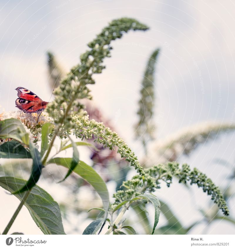 Schmetterling auf Sommerflieder Himmel Pflanze Sträucher 1 Tier Leichtigkeit gekrümmt zart Farbfoto Außenaufnahme Menschenleer Textfreiraum rechts