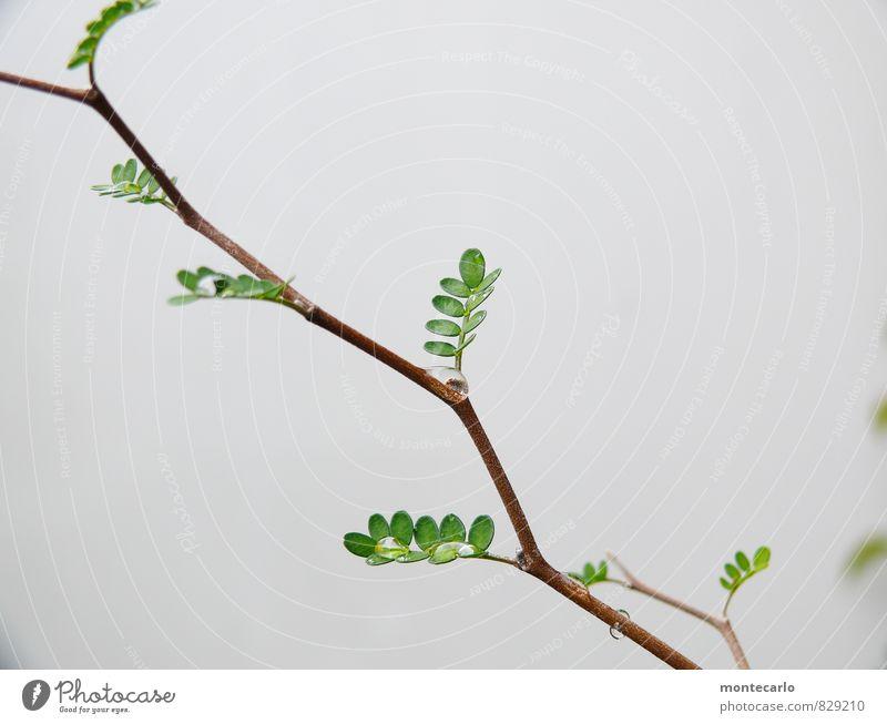 Sophora Umwelt Natur Pflanze Baum Blatt Grünpflanze Wildpflanze exotisch ästhetisch dünn authentisch einfach frisch glänzend einzigartig klein nah nass