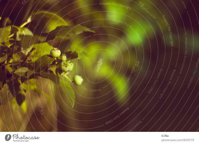 noch nicht fruchtig genug Natur Pflanze grün Sommer Tier Umwelt gelb natürlich Gesundheit Garten Wachstum Sträucher frisch lecker saftig Nutzpflanze