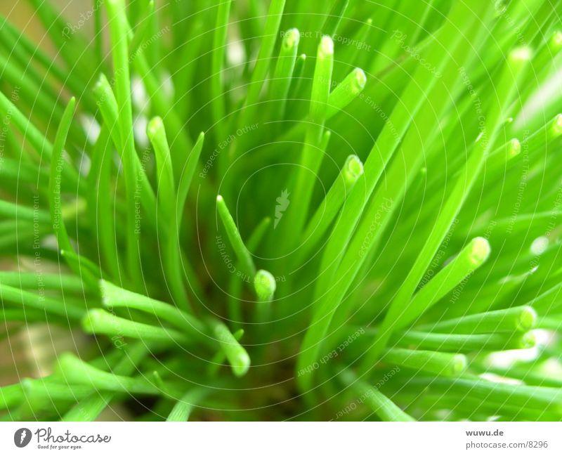 schnittlauch Schnittlauch Pflanze grün Makroaufnahme