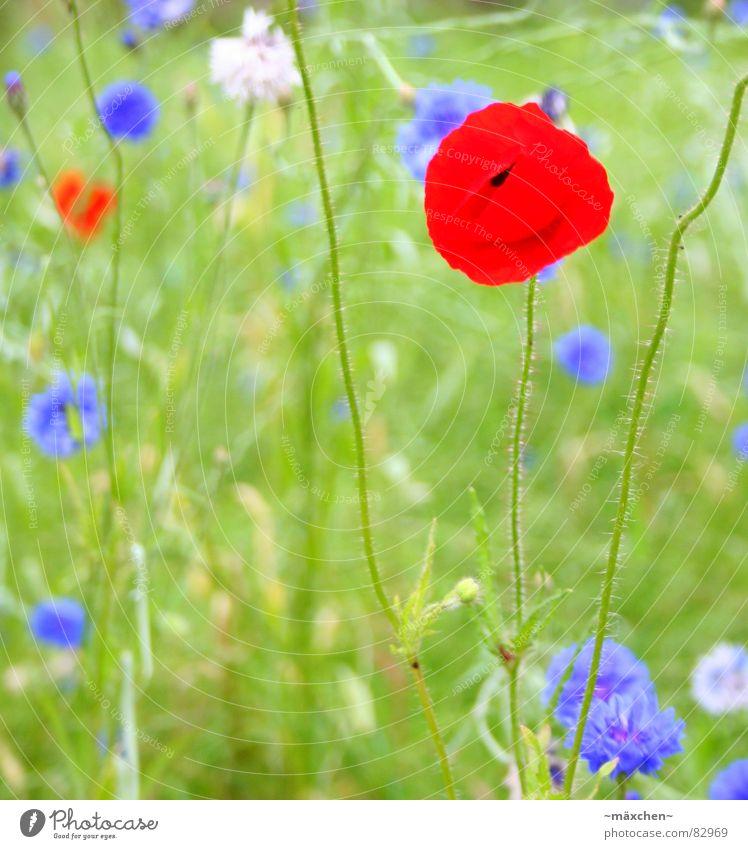 poppy - mohn grün Sommer Wiese knallig Mohn Pflanze Stengel Blume mehrfarbig rot Gras Halm Blumenbeet prächtig whit blau blue warme jahreszeit