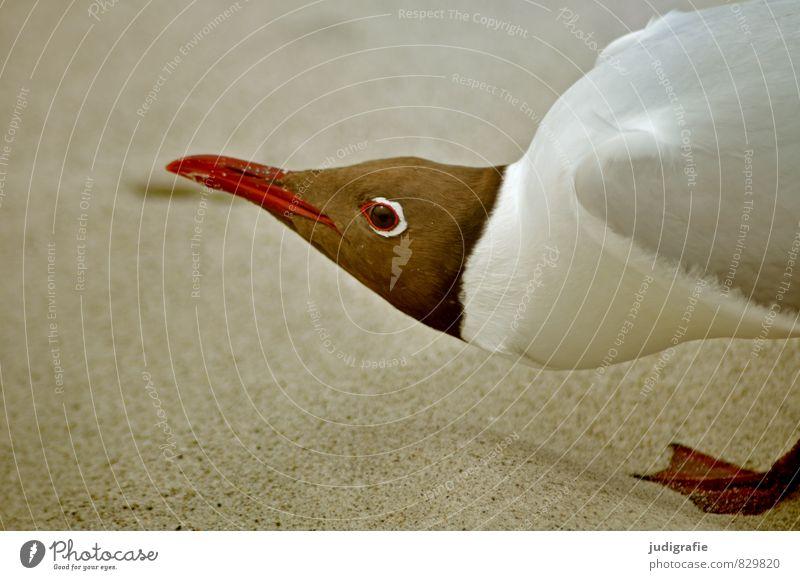 Lach, Möwe! Umwelt Natur Tier Sand Strand Vogel 1 Aggression außergewöhnlich bedrohlich natürlich verrückt Ärger gereizt Lachmöwe Farbfoto Außenaufnahme Porträt