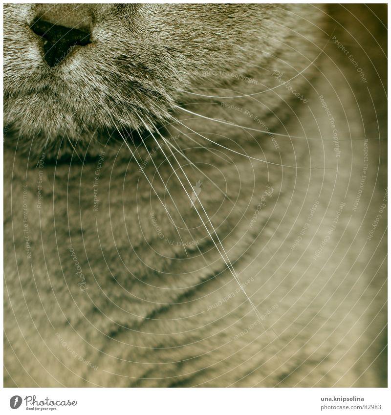 miezekatze Katze Haare & Frisuren grau Haut Mund Nase Fell Hauskatze Säugetier Maul Schnauze dezent Schnurrhaar Barthaare Gänsehaut Schnurren