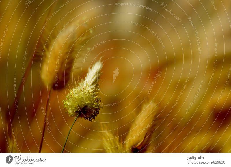 Gras Natur Pflanze Umwelt Wärme natürlich braun Wachstum wild weich