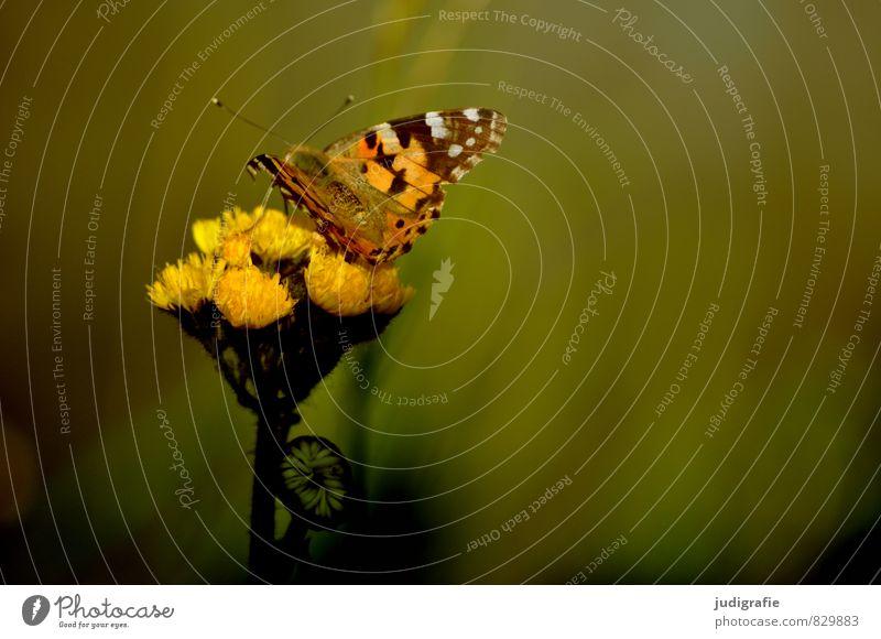 Wiese Natur Pflanze Sommer Tier Umwelt gelb Wärme Blüte natürlich Garten Stimmung Park elegant wild Schmetterling
