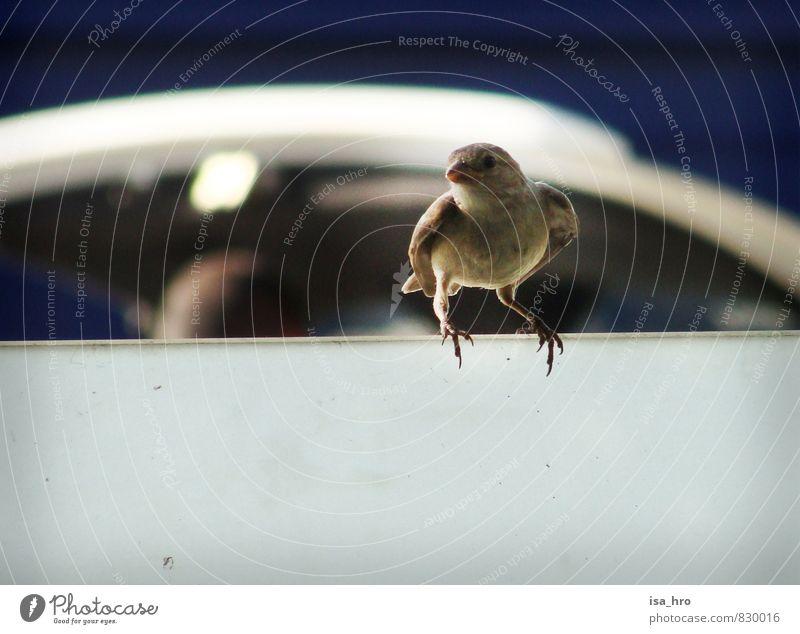 Spatz blau Tier braun Vogel