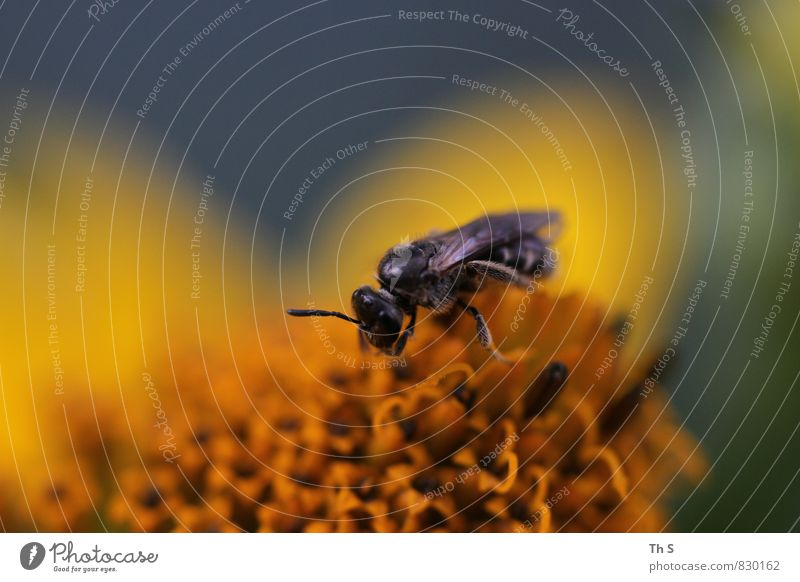Biene Natur Pflanze schön Farbe Sommer ruhig Tier Blüte Frühling elegant authentisch ästhetisch Blühend einzigartig Duft