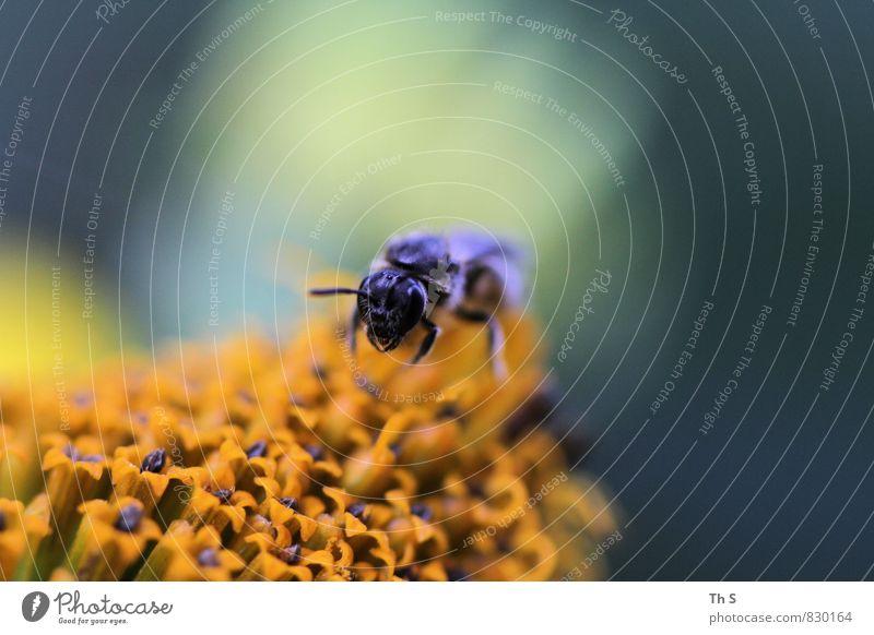 Biene Natur Pflanze schön Sommer Tier Blüte Frühling natürlich elegant authentisch ästhetisch einfach Blühend entdecken Duft