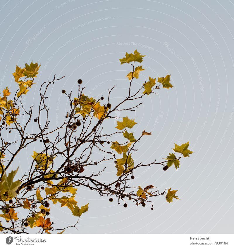 Herbst Umwelt Natur Pflanze Baum Blatt braun gelb Herbstlaub herbstlich Herbstfärbung Farbfoto Gedeckte Farben Außenaufnahme Textfreiraum rechts