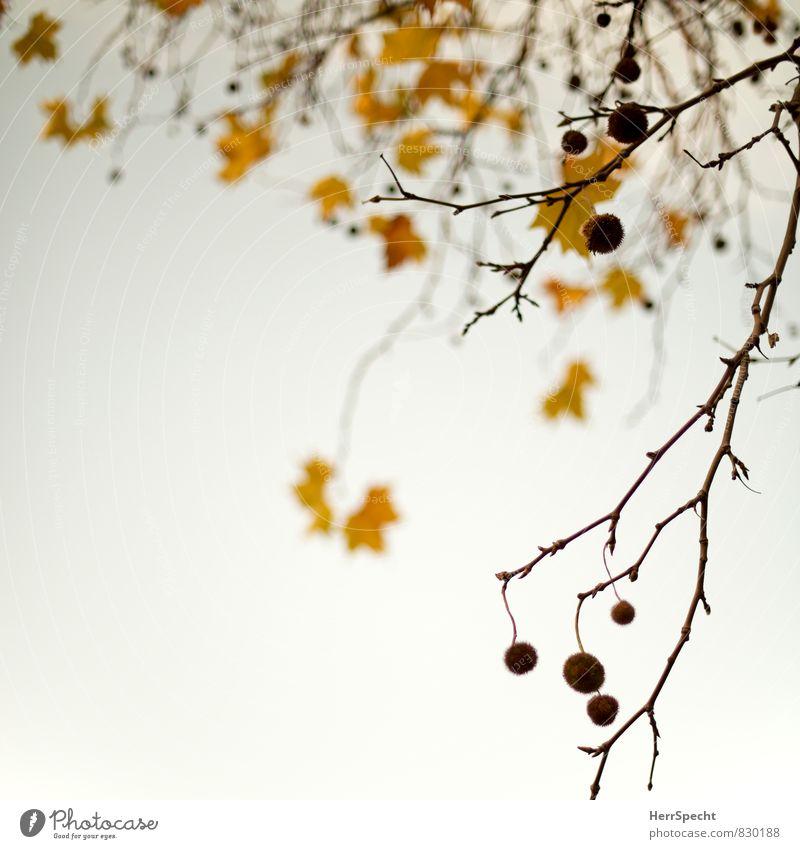 Herbst kommt bald Pflanze Baum Blatt Platane Ahorn dehydrieren trocken braun gelb Vergänglichkeit Ast herbstlich Herbstfärbung Herbstlaub Herbstbeginn