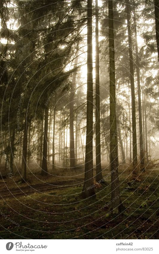 Düsterwald Wald dunkel Stimmung Waldlichtung Baum Nebel Herbst Baumstamm Blatt Außenaufnahme Morgen Sonnenuntergang Herbstbeginn ruhig Nebelschleier Wäldchen