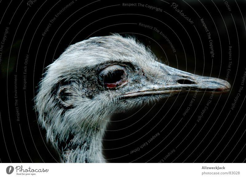 häßliches Entlein schwarz Vogel Feder Blumenstrauß Schnabel Tier Ornithologie Vogelgrippe Laufvogel Nandu Vor dunklem Hintergrund