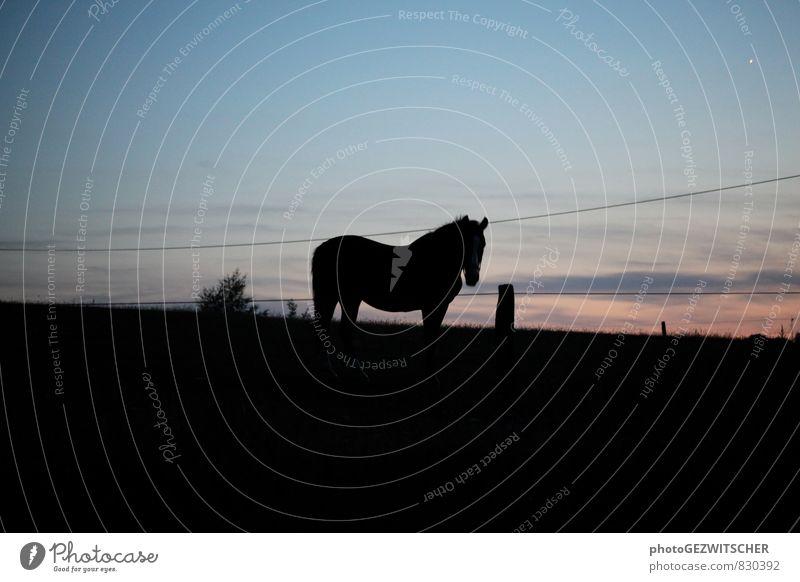 Pferd Landschaft Himmel Sommer Schönes Wetter Feld Tier Haustier Nutztier 1 Linie blau orange schwarz ästhetisch Natur Stolz Solseifen Abenddämmerung Gegenlicht