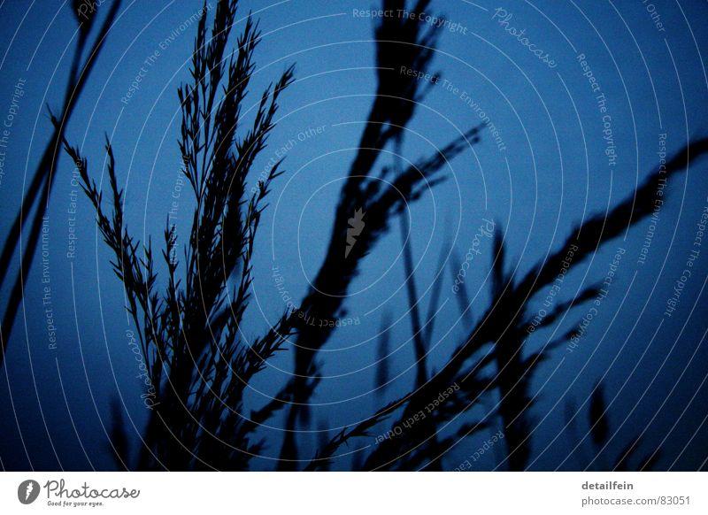 gräser am abend blau Wiese Gras Getreide Weide Stengel Korn Halm Abenddämmerung Samen