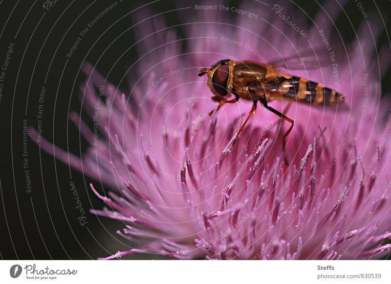 Verlockung | mit Duft und Farbe Distel Distelblüte Sommerblumen Schwebfliege Wildblume Fliege rosa Blume rosa Blüte Sommerfarben blühende Sommerblume verlockend