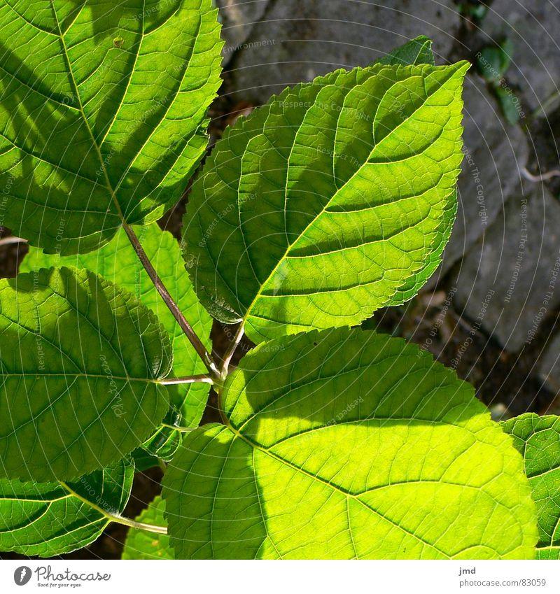 Blattformen grün Etage Licht Pflanze Lichtspiel Schattenspiel Gefäße netzartig Wachstum Dach Blume Muster pflanzlich Blühend Garten Park nach oben streben