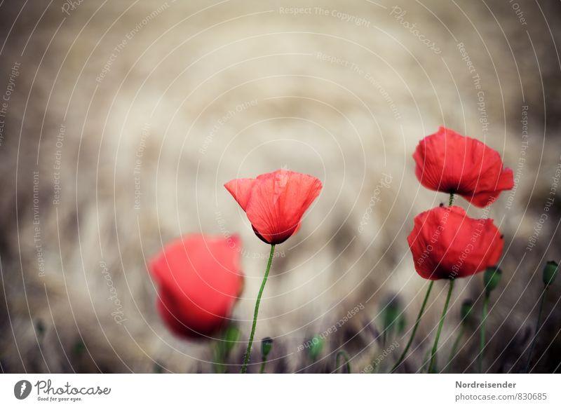 Vier.... Natur Pflanze Sommer rot Blume Blüte natürlich braun Feld leuchten Blühend Kitsch Mohn Wildpflanze Mohnblüte Klatschmohn