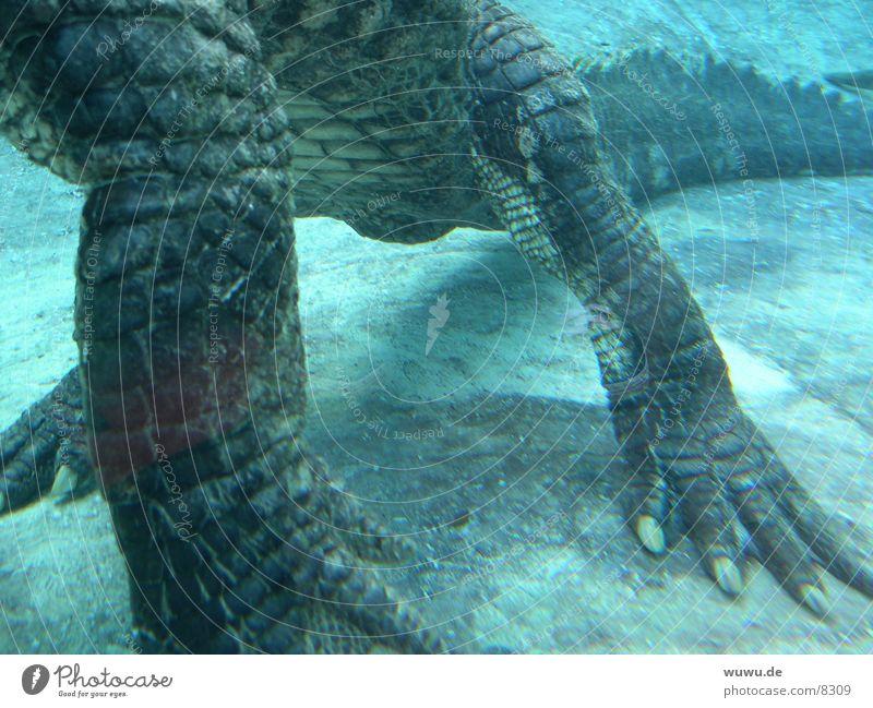 little alligator Alligator Krokodil Aquarium gefährlich türkis Gator USA Wasser