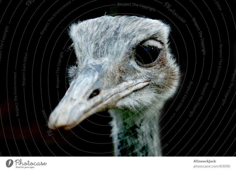 häßliches Entlein Nummer 2 schwarz Vogel Feder Blumenstrauß Schnabel Ornithologie Tier Vogelgrippe Laufvogel Nandu Vor dunklem Hintergrund