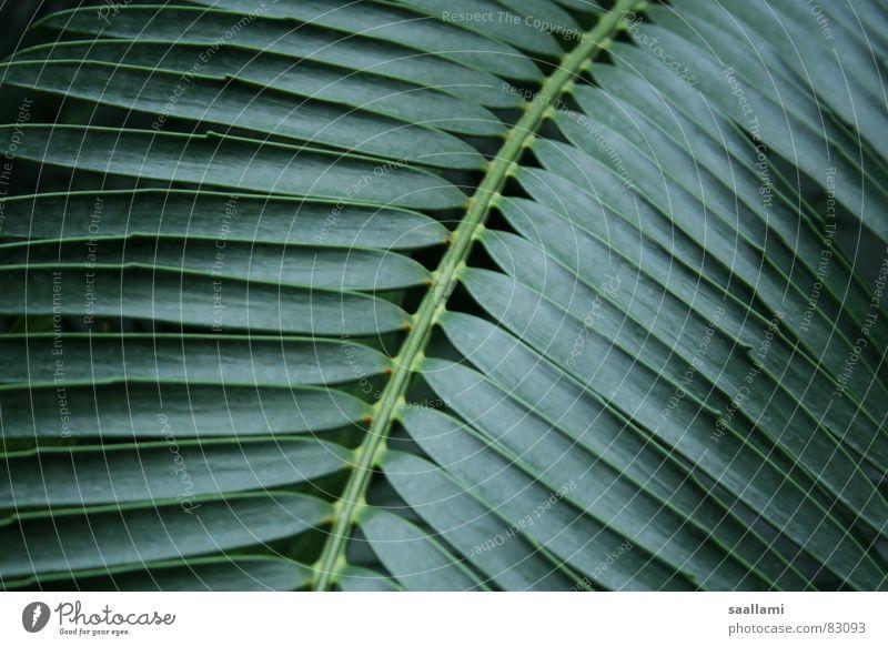 Palmenwedel Stechpalme grün Pflanze Botanik Garten Park Makroaufnahme Nahaufnahme Palmenzweig exotisch Detailaufnahme Natur Linie