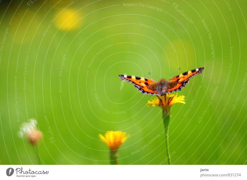 sommerkleid Natur Pflanze Farbe Sommer Blume ruhig Tier Wiese Gras natürlich fliegen Wildtier warten Schönes Wetter Gelassenheit Schmetterling