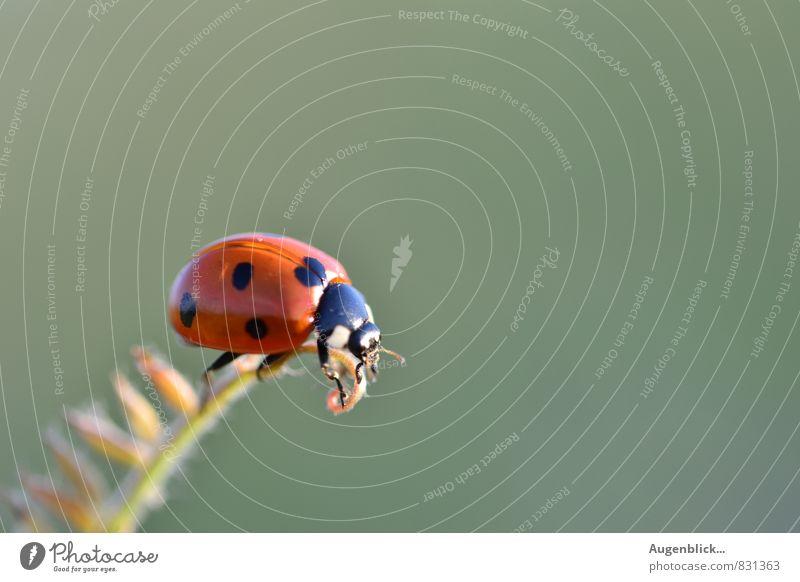 alles Gute, kleiner Käfer... Tier Marienkäfer 1 beobachten krabbeln glänzend Glück natürlich blau grün rot friedlich Gelassenheit ruhig einzigartig Ziel