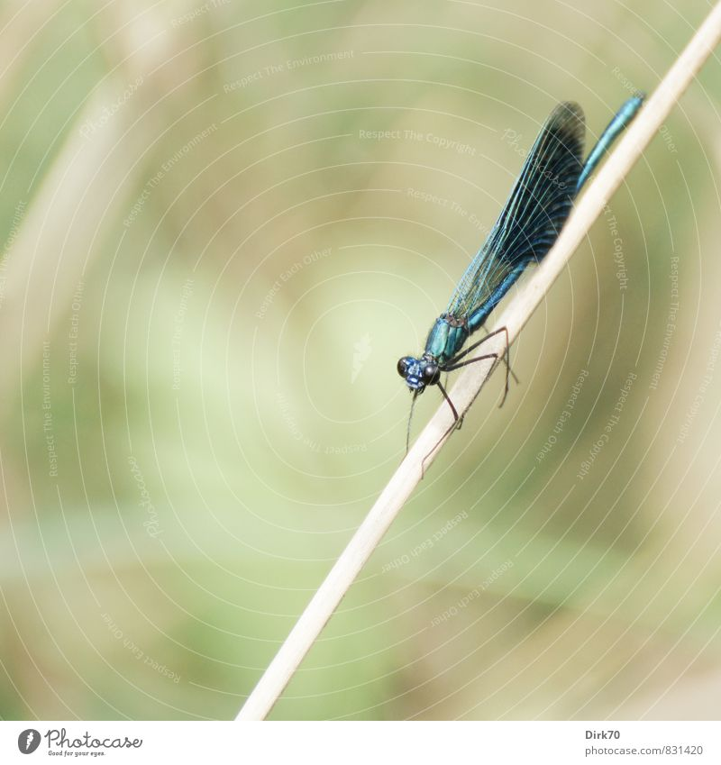 Prächtig Tier Sommer Pflanze Gras Schilfrohr Halm Flussufer Bach Wümme Wildtier Flügel Insekt Libelle Libellenflügel Prachtlibellen 1 hängen schaukeln sitzen