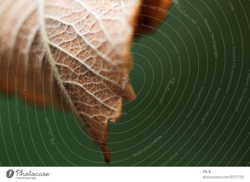 Blatt Natur Pflanze Frühling Sommer Herbst alt Blühend fallen verblüht dehydrieren ästhetisch authentisch einfach elegant braun grün Gelassenheit geduldig ruhig
