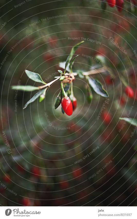 goji Natur Pflanze Blatt Umwelt Gesunde Ernährung natürlich Gesundheit Garten Frucht Sträucher frisch ästhetisch lecker Nutzpflanze Alternativmedizin Fruchtstand