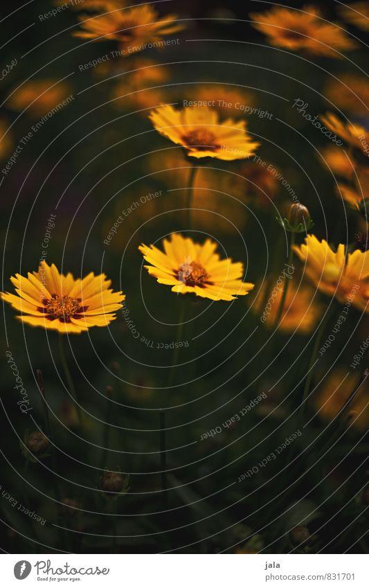 gelb Umwelt Natur Pflanze Blume Garten Aggression natürlich schön Farbfoto Außenaufnahme Menschenleer Textfreiraum unten Abend Dämmerung Low Key