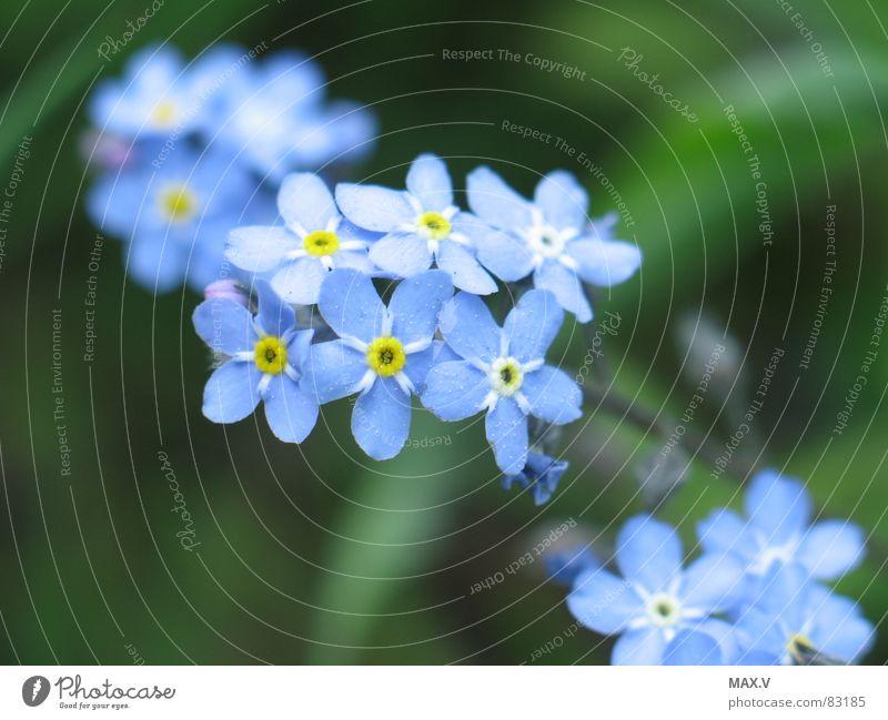 Nähe Vergißmeinnicht Raublattgewächs Blütenpflanze Blume grün Pflanze Erinnerung Makroaufnahme blau Natur
