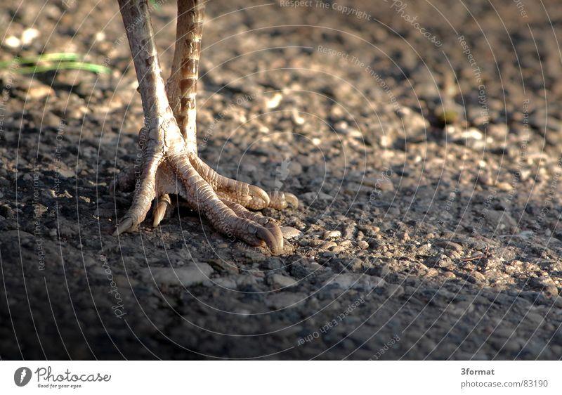 pfauenfuss Vogel Pfau Krallen Zoo grau Feder gehen Spaziergang Tiergarten Kies eitler Pfau Fuß Beine Sand Stein laufen