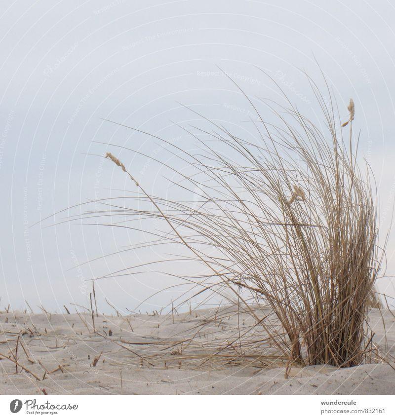durch den wind Umwelt Natur Landschaft Pflanze Erde Sand Himmel Wind Dürre Gras Wildpflanze Küste Ostsee Meer natürlich trocken wild Klima träumen Dünengras