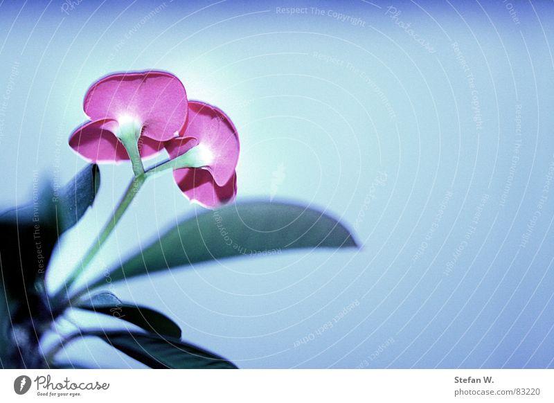 Schneeblume Blume Pflanze Winter kalt Blüte Eis 2 rosa frisch paarweise Stengel Blütenblatt Symbole & Metaphern lichtvoll Blütenstiel