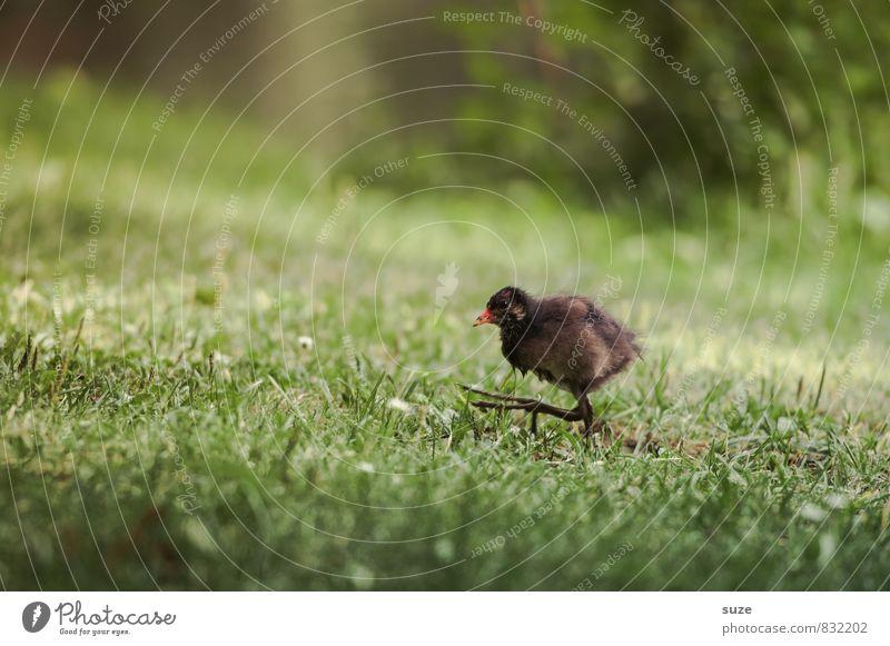 Nach mir die Sintflut Natur grün Tier Tierjunges Bewegung Wiese Gras lustig natürlich klein braun Vogel wild Wildtier authentisch Tierfuß