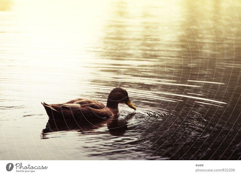 Das Ente naht ... Umwelt Natur Urelemente Wasser Herbst Teich See Tier Wildtier 1 Schwimmen & Baden ästhetisch dunkel braun gelb Gefühle Stimmung Tierliebe