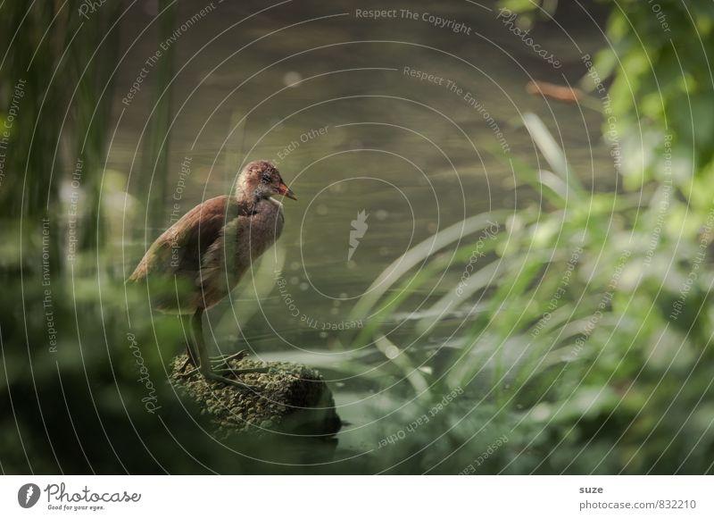 Riesen-Küken Natur Tier Wasser Teich See Wildtier Vogel 1 Tierjunges authentisch dunkel klein natürlich niedlich wild grün Gefühle Einsamkeit Teichhuhn