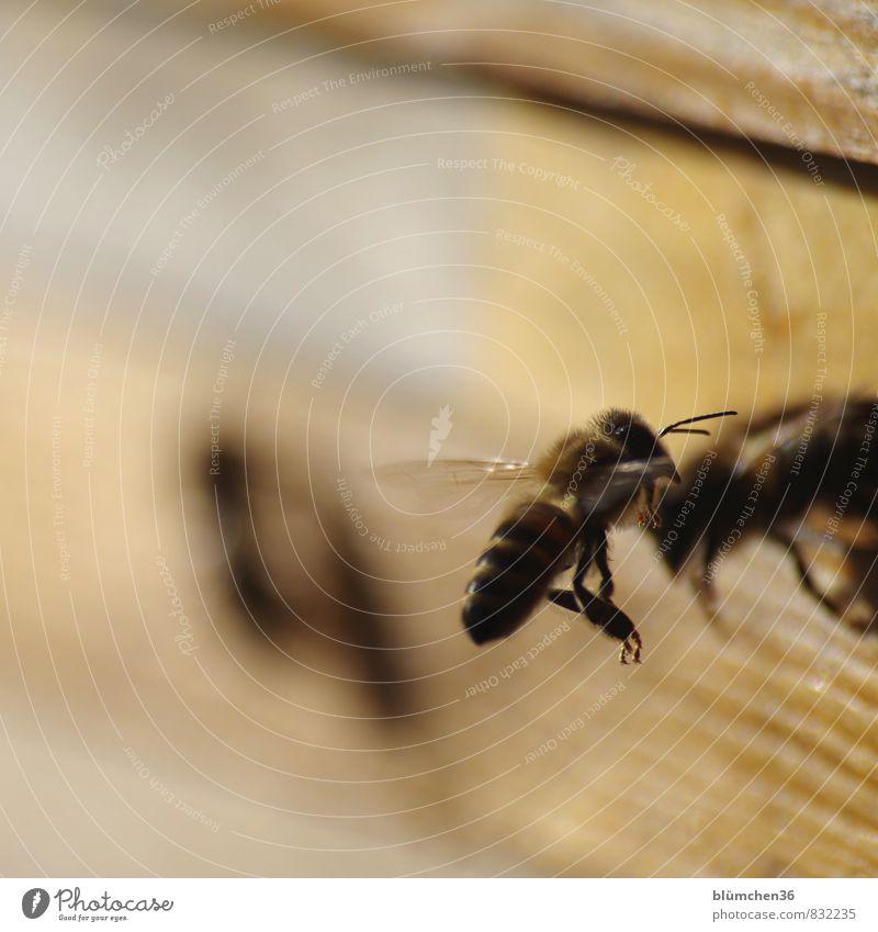 Highlife auf der Start- und Landebahn Tier Nutztier Biene Honigbiene Insekt Schwarm fliegen tragen ästhetisch schön klein Arbeit & Erwerbstätigkeit Tierliebe