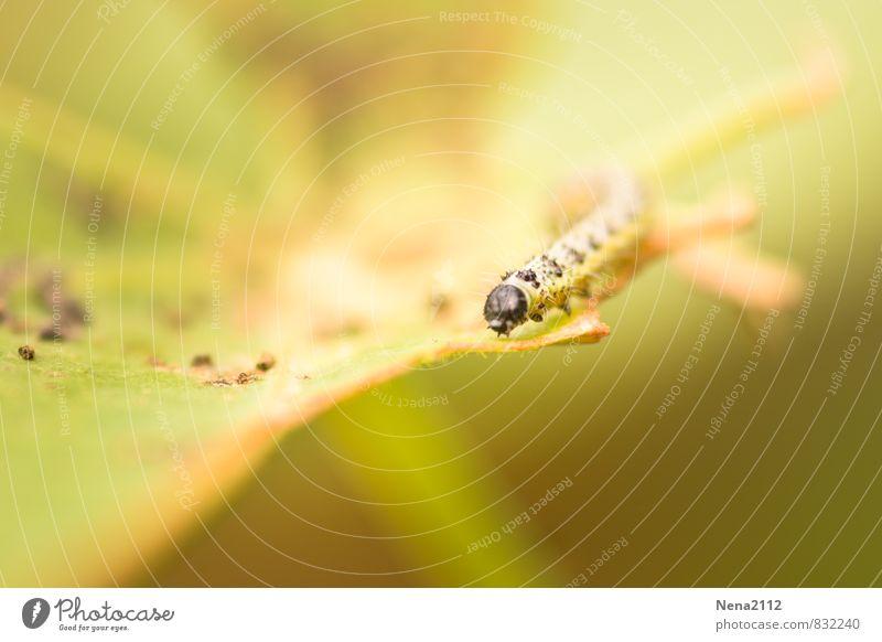 Suchen Umwelt Pflanze Tier Sommer Schönes Wetter Blatt Garten Park Wiese Feld Wald 1 stachelig gelb klein Tausendfüßler Raupe Schmetterling Farbfoto